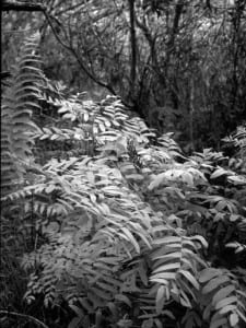 royal fern ri