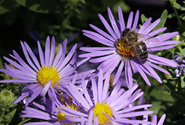 Bee visiting Asters