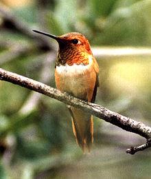 Rhufus Hummingbird