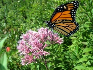 Eutrochium fistulosum (hollow Joe-Pye weed) with monarch, photo DMcGrady