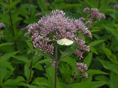 Eutrochium-maculatum-spotted-Joe-Pye-weed-moth