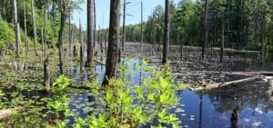 A beaver pond
