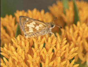 moth on milkweed